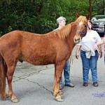 levi horse parade